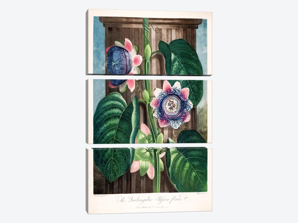 The Quadrangular Passion Flower 3-piece Canvas Art Print