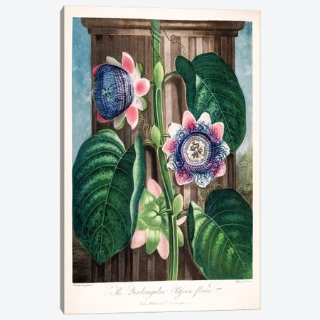 The Quadrangular Passion Flower Canvas Print #PCH6} by Peter Charles Henderson Canvas Wall Art
