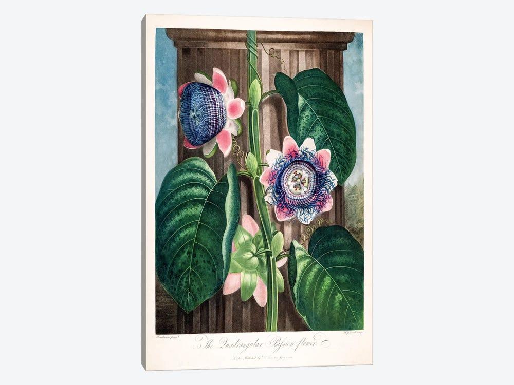 The Quadrangular Passion Flower by Peter Charles Henderson 1-piece Canvas Art Print