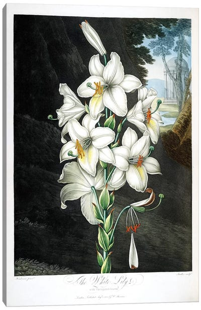 The White Lily Canvas Art Print