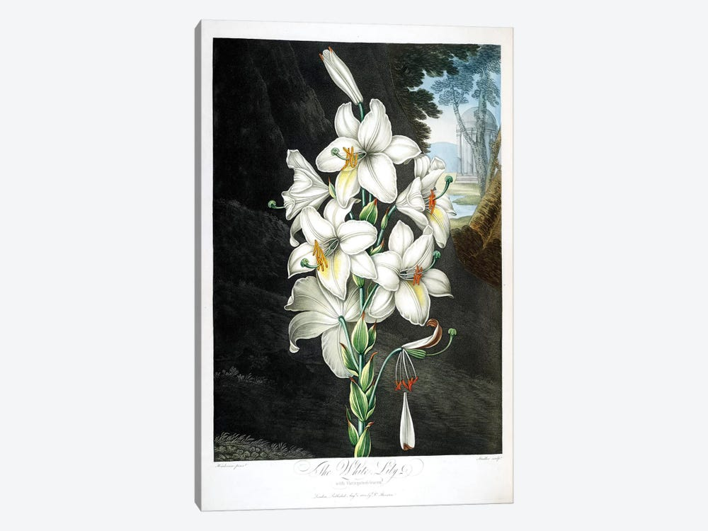 The White Lily by Peter Charles Henderson 1-piece Canvas Art Print