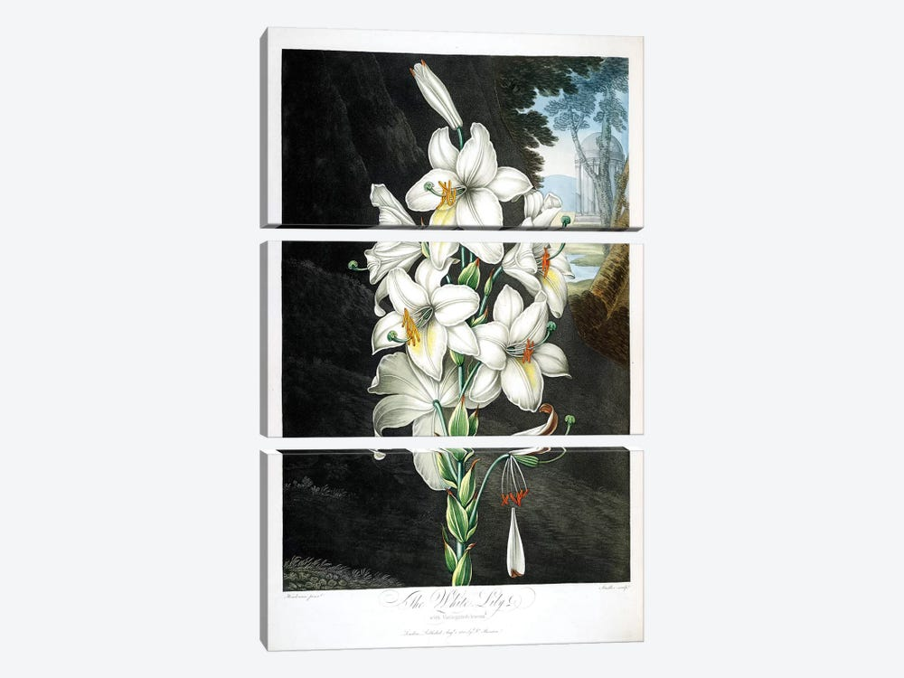 The White Lily by Peter Charles Henderson 3-piece Canvas Print