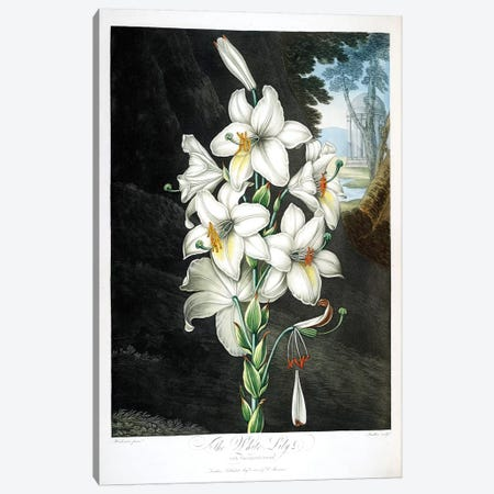 The White Lily Canvas Print #PCH8} by Peter Charles Henderson Art Print