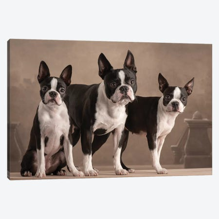 Boston Terrier 2019 Germany 3-Piece Canvas #PCI11} by Paul Croes Canvas Print
