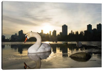 Mute Swan, Lost Lagoon, Stanley Park, Vancouver, British Columbia, Canada Canvas Print #PCO1