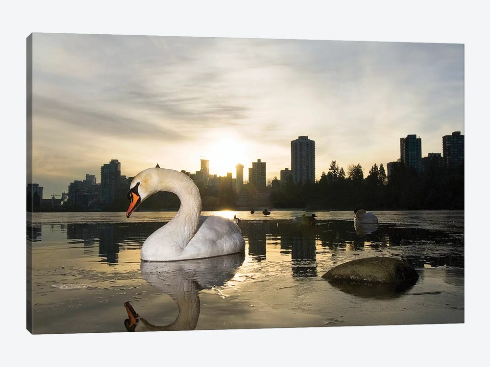 Mute Swan, Lost Lagoon, Stanley Park, Vancouver, British Columbia, Canada by Paul Colangelo 1-piece Canvas Art Print