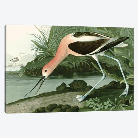 American Avocet Canvas Print #PDX147} by Piddix Canvas Artwork