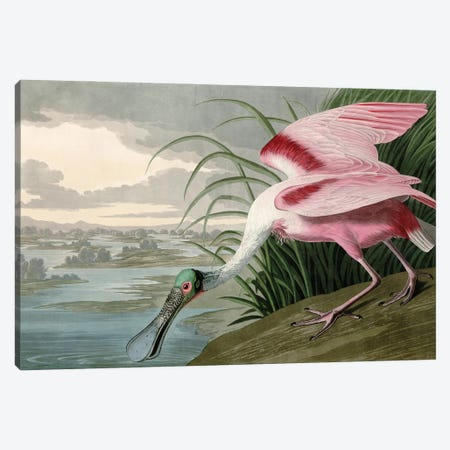 Roseate Spoonbill Canvas Print #PDX160} by Piddix Canvas Print
