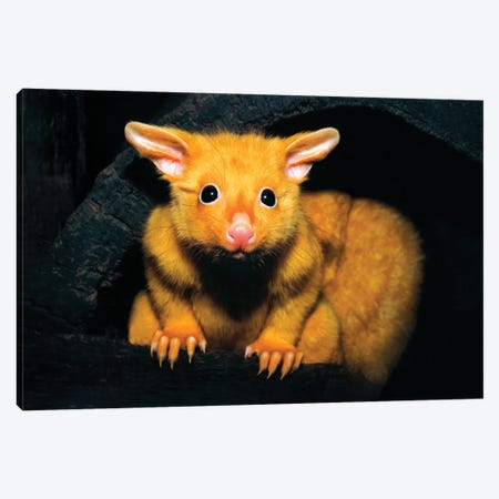 Golden Possum Canvas Print #PEW29} by Peter Walton Canvas Art