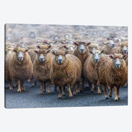 Sheep Encounter Canvas Print #PEW72} by Peter Walton Canvas Print