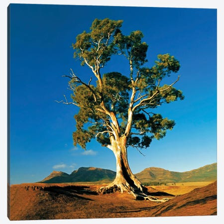 Cazneaux Tree Canvas Print #PEW93} by Peter Walton Canvas Art Print
