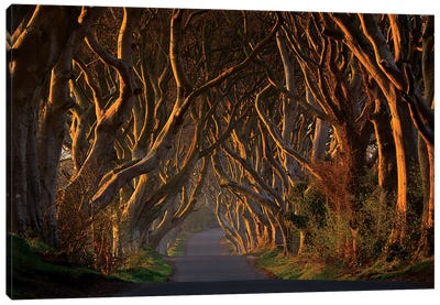 The Dark Hedges In The Morning Sunshine Canvas Art Print