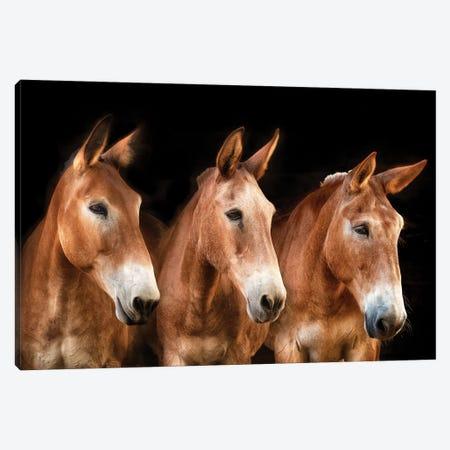 Collection of Horses IV Canvas Print #PHB101} by PHBurchett Art Print
