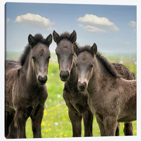 Collection of Horses IX Canvas Print #PHB102} by PHBurchett Art Print