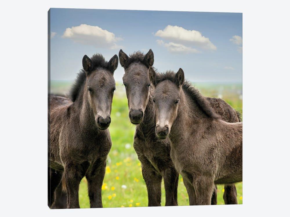 Collection of Horses IX by PHBurchett 1-piece Canvas Print