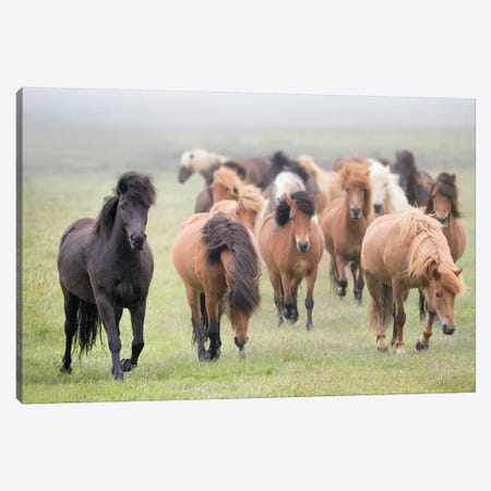 Grassland Horses II Canvas Print #PHB13} by PH Burchett Canvas Art Print