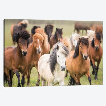 Grassland Horses III Canvas Print #PHB14} by PH Burchett Canvas Artwork