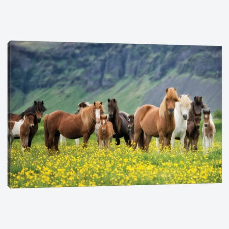 Icelandic Horses VII Canvas Print #PHB15} by PH Burchett Canvas Artwork