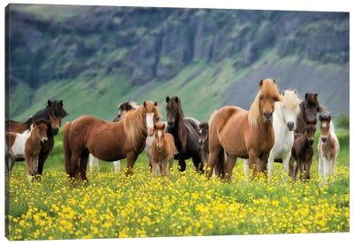Icelandic Horses VII Canvas Art Print
