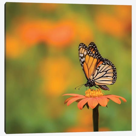 Butterfly Portrait IV Canvas Print #PHB22} by PH Burchett Canvas Artwork