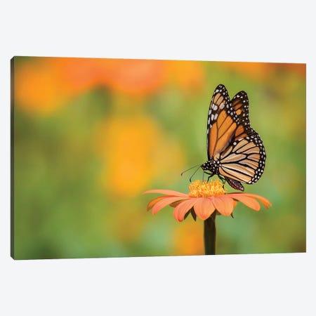Butterfly Portrait IX Canvas Print #PHB23} by PHBurchett Canvas Wall Art