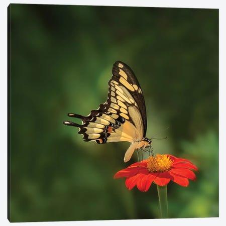 Butterfly Portrait V Canvas Print #PHB24} by PHBurchett Canvas Print