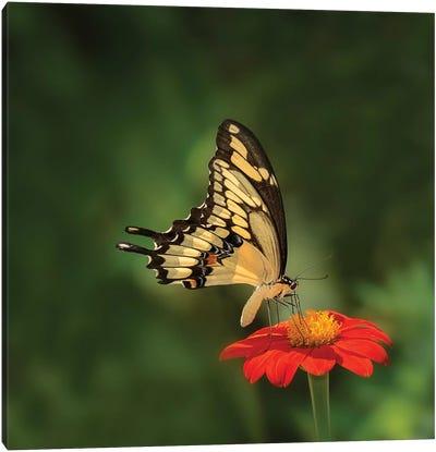 Butterfly Portrait V Canvas Art Print