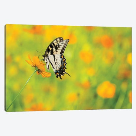 Butterfly Portrait VIII Canvas Print #PHB27} by PHBurchett Canvas Print
