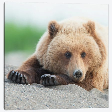 Bear Life IV Canvas Print #PHB40} by PHBurchett Canvas Art