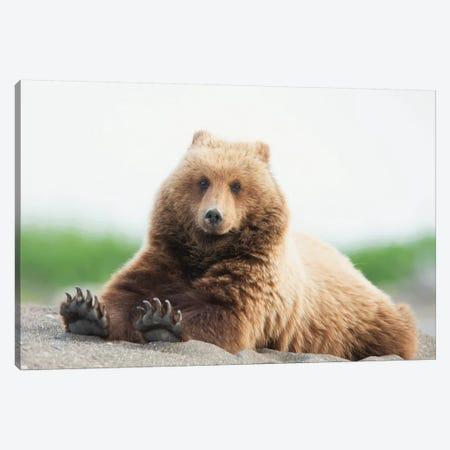 Bear Life VI Canvas Print #PHB43} by PHBurchett Canvas Artwork