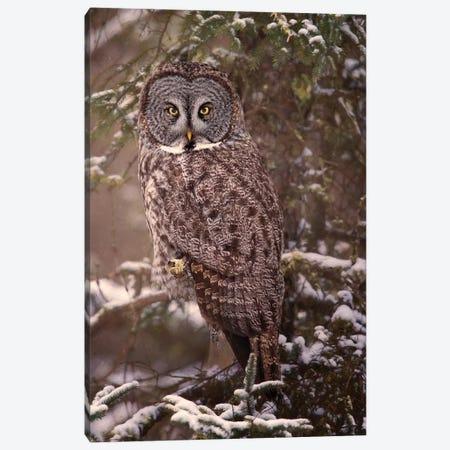 Owl in the Snow I Canvas Print #PHB51} by PHBurchett Canvas Art Print