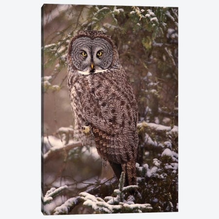 Owl in the Snow I Canvas Print #PHB51} by PHBurchett Canvas Art Print
