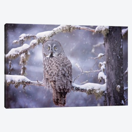 Owl in the Snow III Canvas Print #PHB53} by PHBurchett Canvas Print