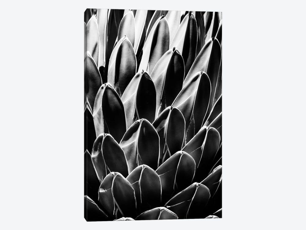 Black Arizona Series - Queen Victoria Agave by Philippe Hugonnard 1-piece Canvas Artwork