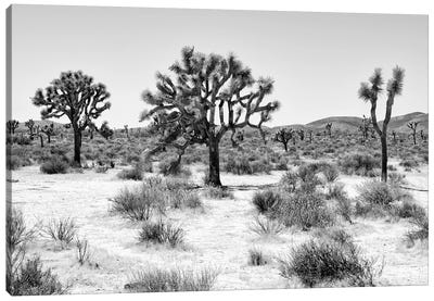 Black Arizona Series - Beautiful Joshua Trees Canvas Art Print