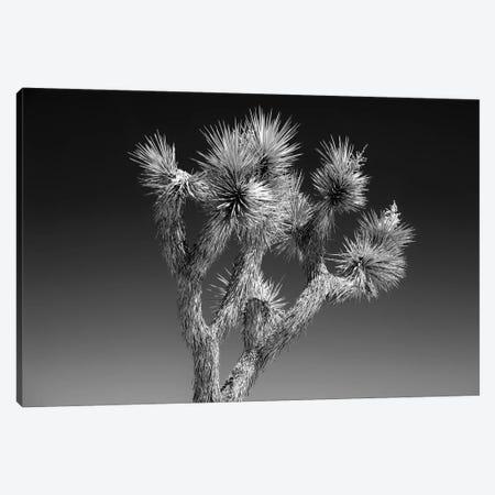 Black California Series - Joshua Tree II Canvas Print #PHD1789} by Philippe Hugonnard Canvas Wall Art