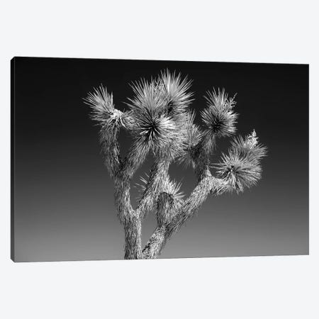 Black California Series - Joshua Tree II Canvas Print #PHD1789} by Philippe Hugonnard Canvas Wall Art