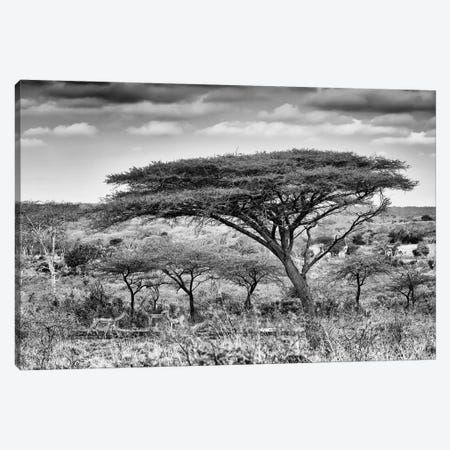 Acacia Trees Canvas Print #PHD178} by Philippe Hugonnard Canvas Artwork