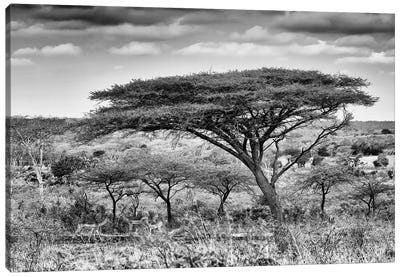 Acacia Trees Canvas Art Print