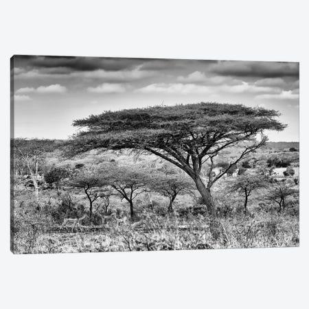 Acacia Trees Canvas Print #PHD178} by Philippe Hugonnard Canvas Artwork