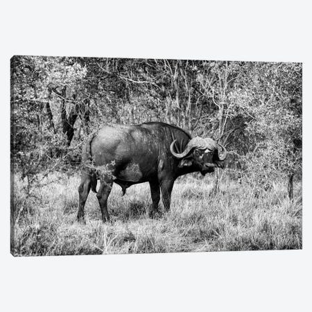 African Cape Buffalo Canvas Print #PHD179} by Philippe Hugonnard Canvas Artwork