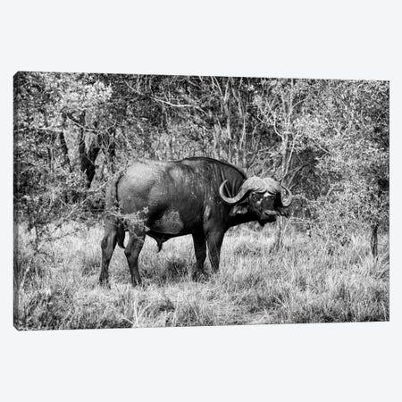 African Cape Buffalo Canvas Print #PHD179} by Philippe Hugonnard Canvas Artwork