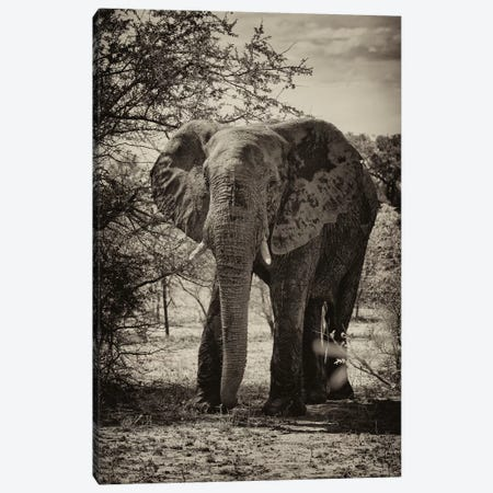 African Elephant Portrait Canvas Print #PHD180} by Philippe Hugonnard Art Print