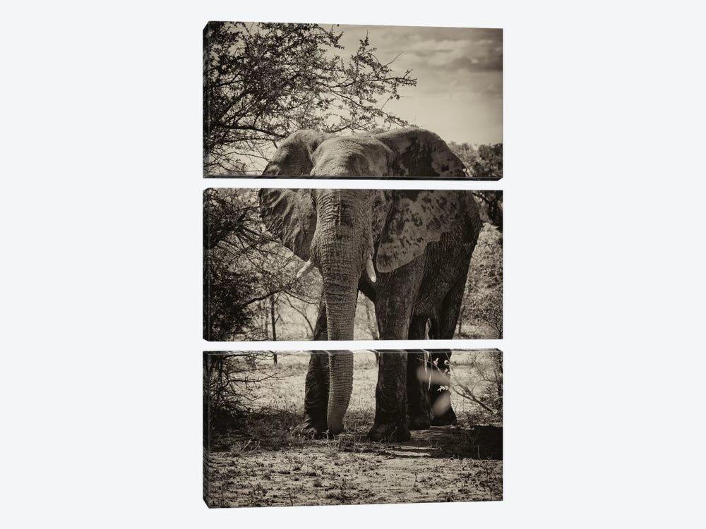 African Elephant Portrait by Philippe Hugonnard 3-piece Canvas Print