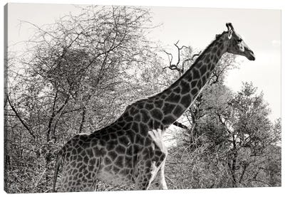 Awesome South Africa Series: African Giraffe Canvas Art Print