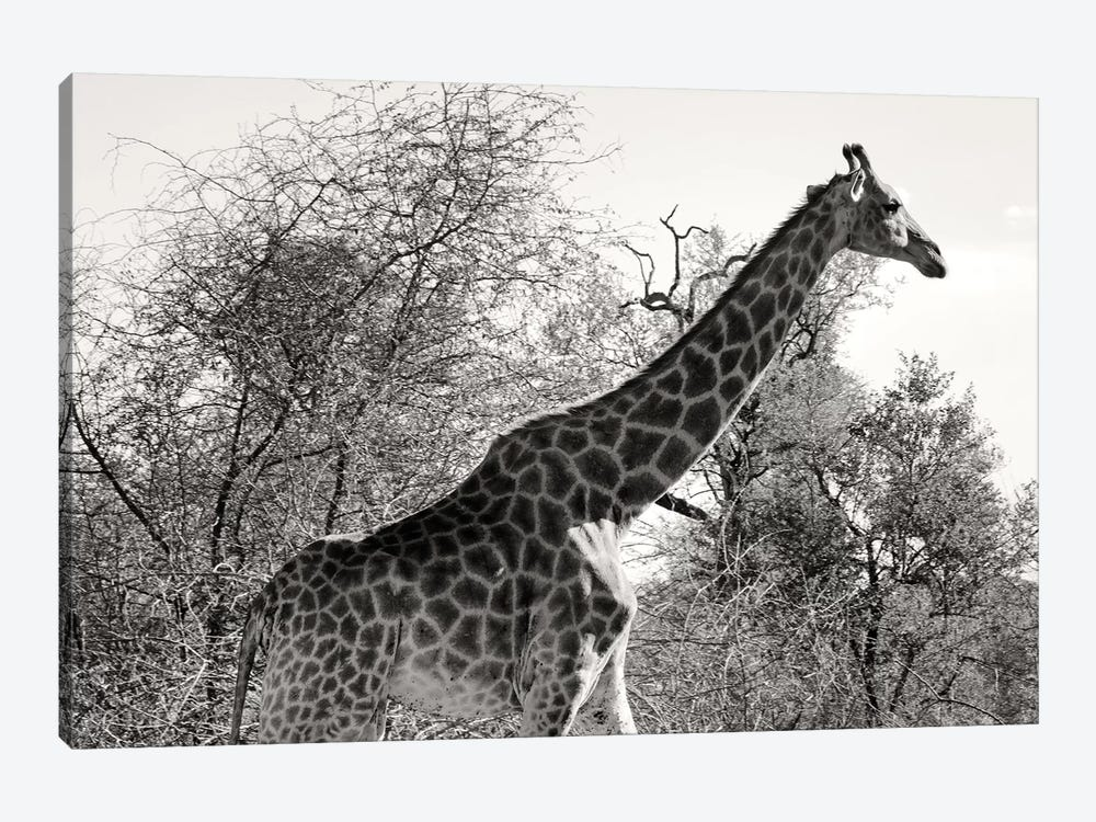 African Giraffe by Philippe Hugonnard 1-piece Canvas Art Print