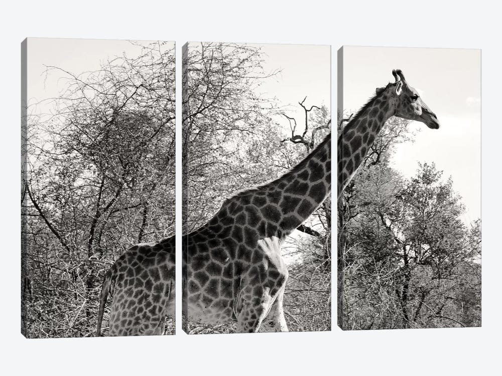 African Giraffe by Philippe Hugonnard 3-piece Canvas Print