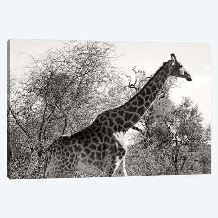 African Giraffe Canvas Print #PHD182} by Philippe Hugonnard Canvas Print