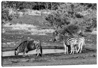 Awesome South Africa Series: Black Wildebeest and Two Zebras Canvas Print #PHD187