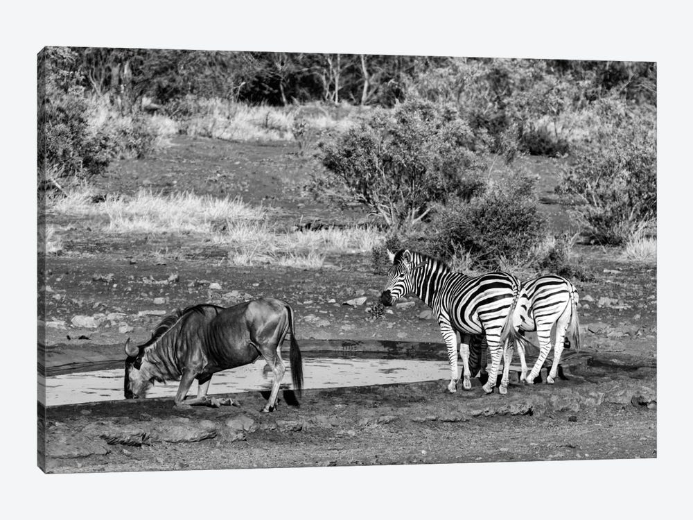 Awesome South Africa Series: Black Wildebeest and Two Zebras by Philippe Hugonnard 1-piece Canvas Wall Art
